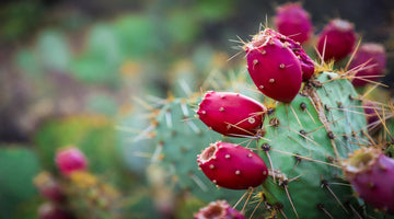 The Benefits of Prickly Pear Extract