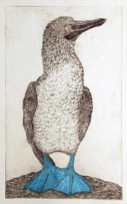 Blue Footed Booby Etching