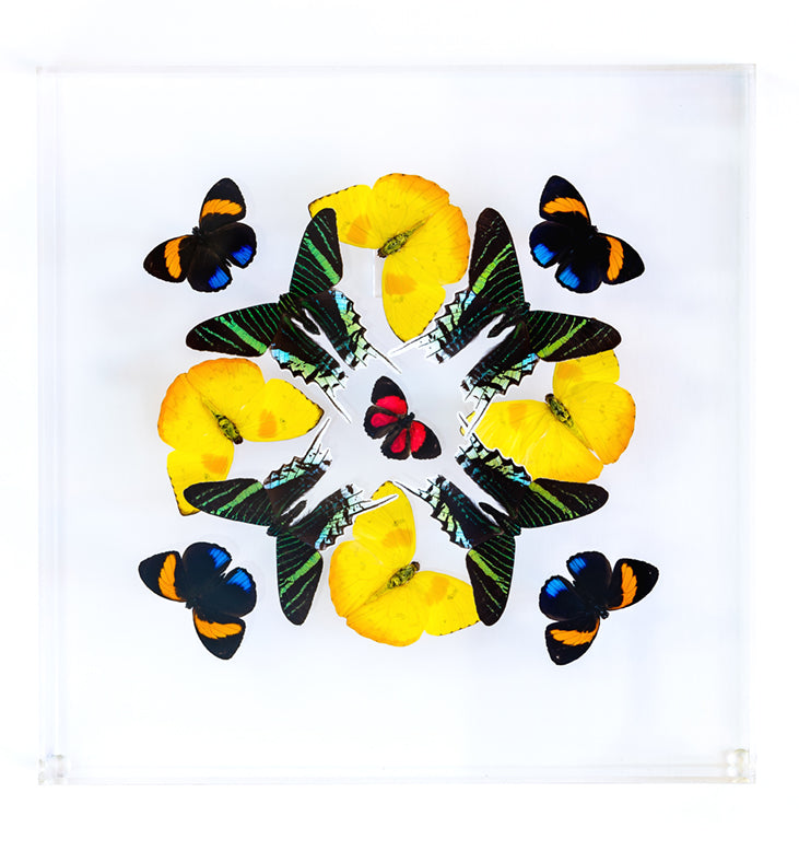 "12"" x 12"" exotic butterfly display - 1212klpa"