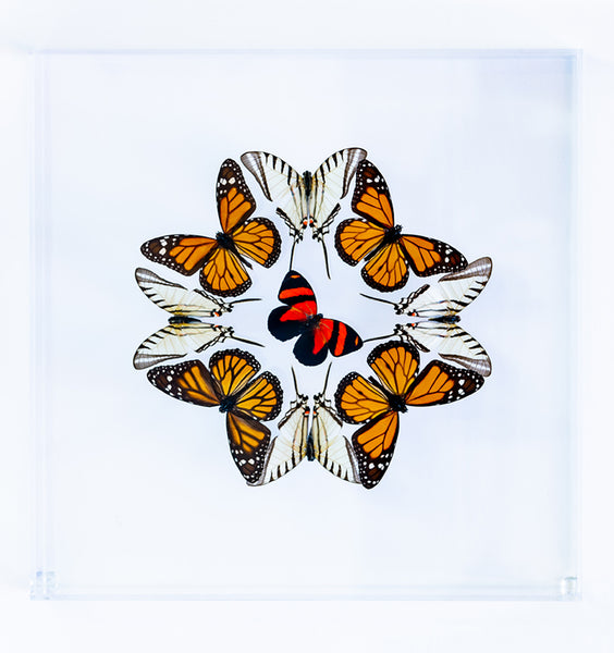 "12"" x 12"" exotic butterfly display - 1212kmzc"