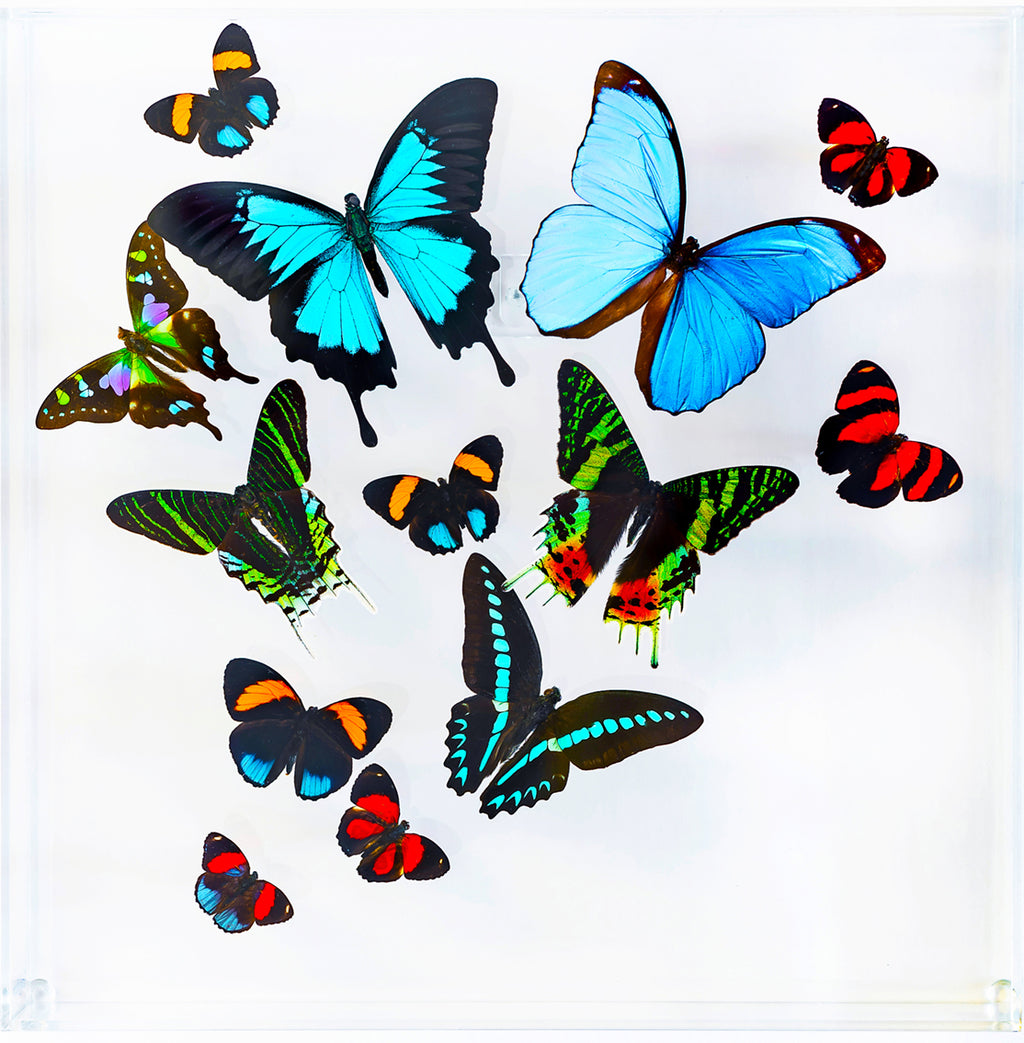 "12"" x 12"" exotic butterfly display - 1212mcum"
