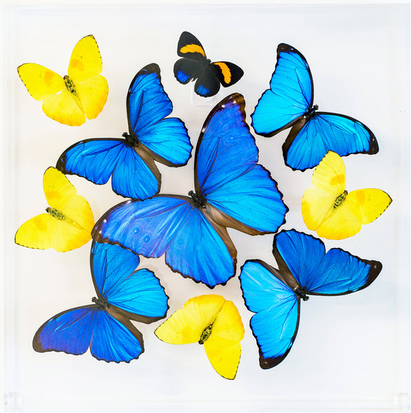 "12"" x 12"" exotic butterfly display - 1212mpp - Regular price $389.00"