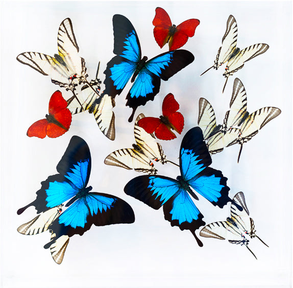 "12"" x 12"" exotic butterfly display - 1212UZS - Regular price $389.00"