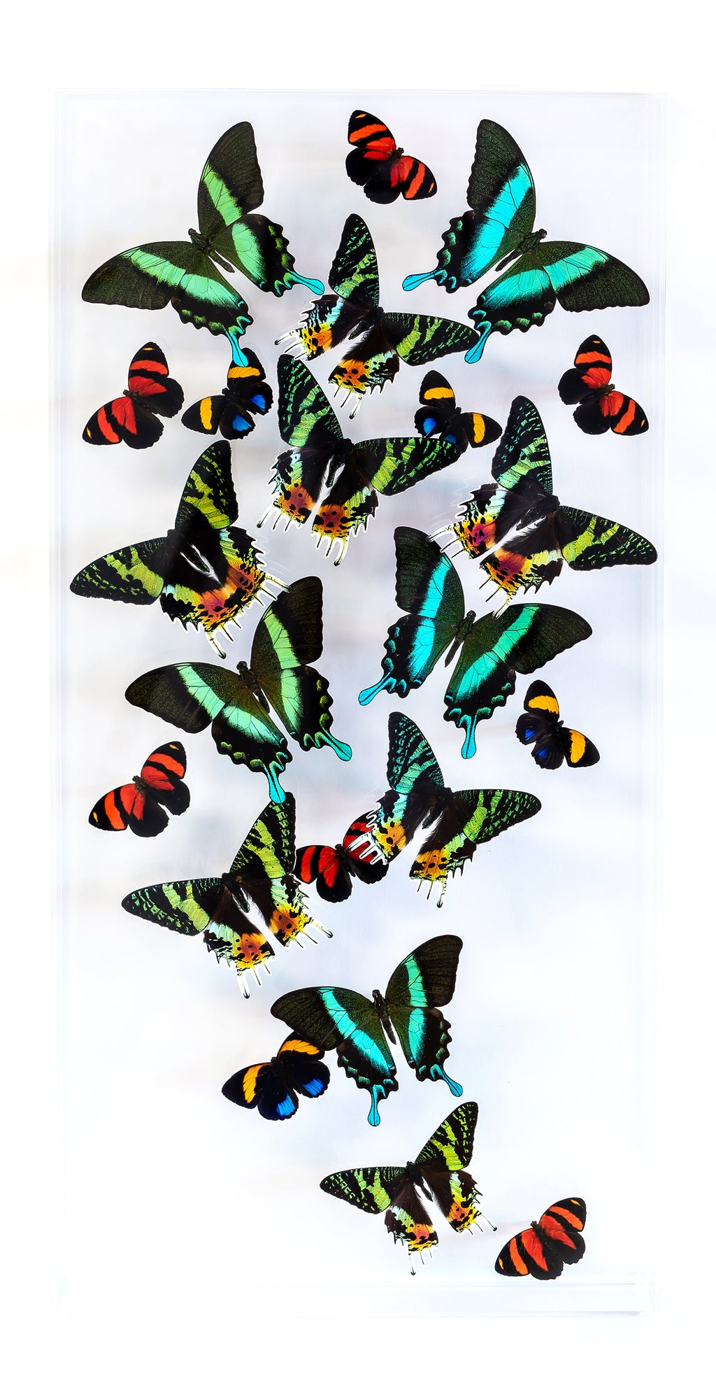 "12"" x 24"" exotic butterfly display - 1224BSCP - Vertical - Regular price $795.00"