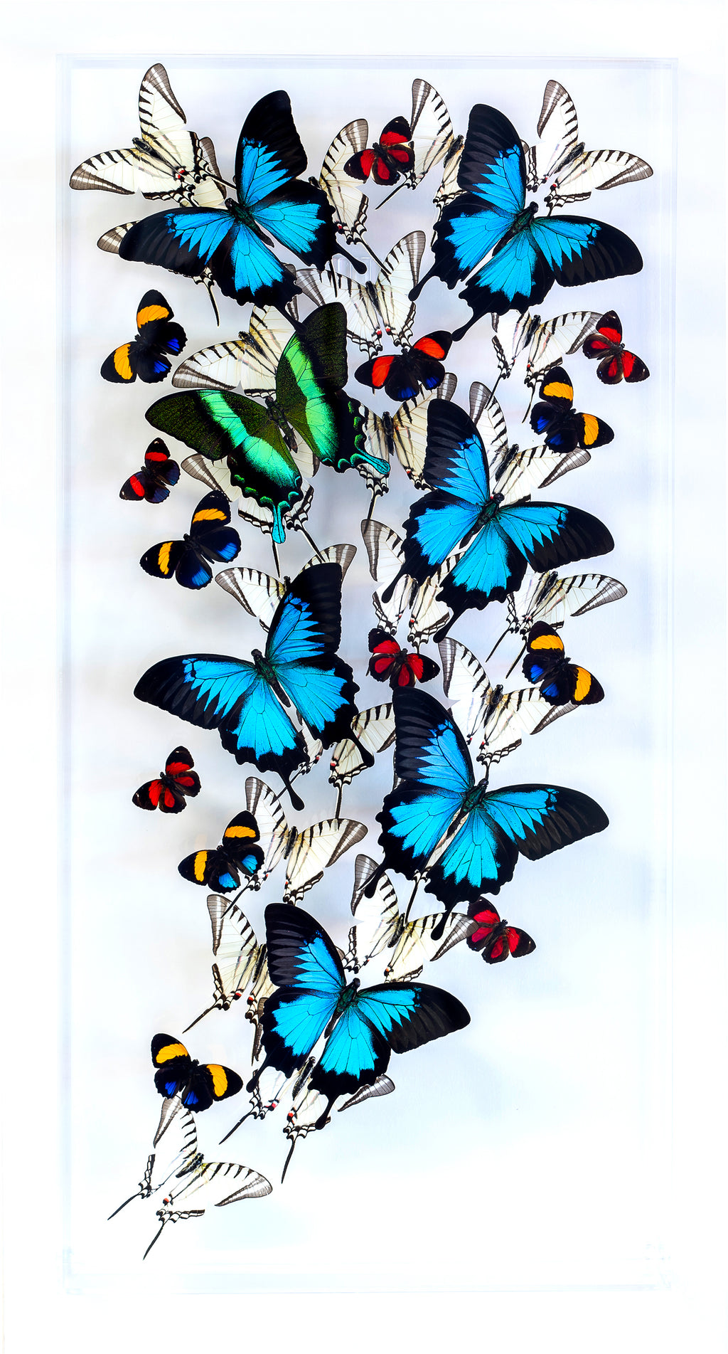 "12"" x 24"" exotic butterfly display - 1224BUZAP - Vertical - Regular price $795.00"