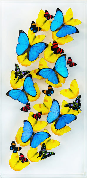 "12"" x 24"" exotic butterfly display - 1224mpwc - Vertical"
