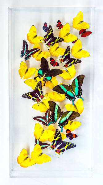 "12"" x 24"" exotic butterfly display - 1224PBSK"