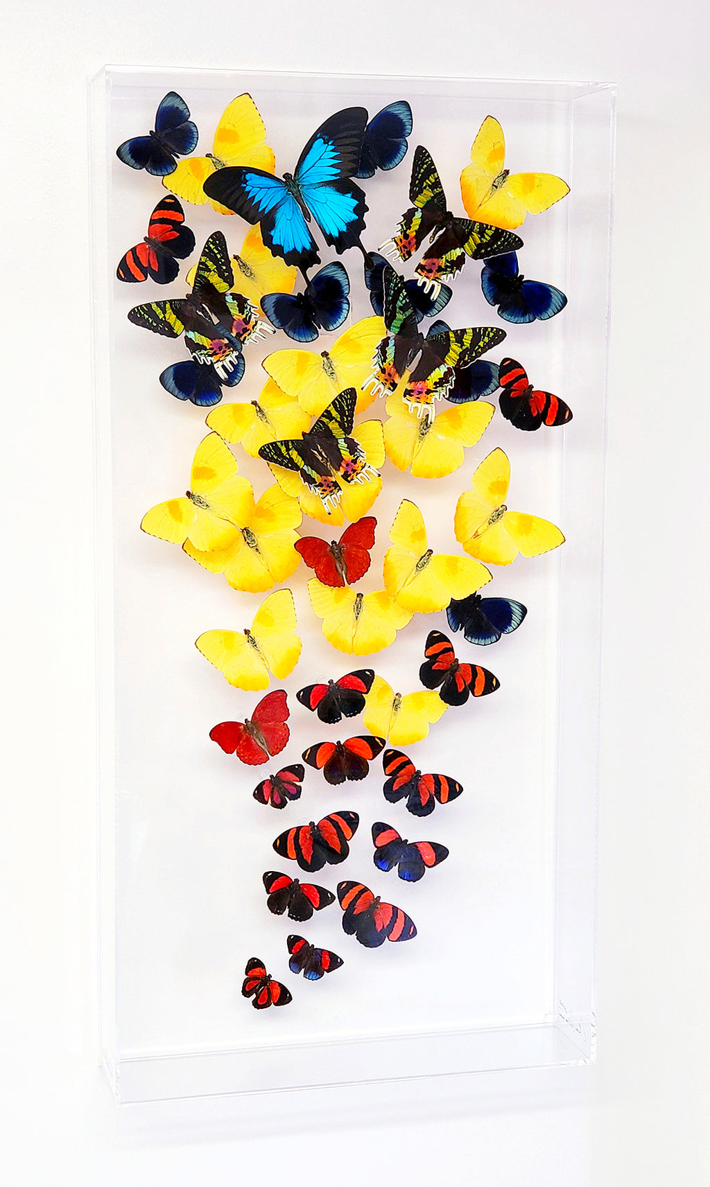 "12"" x 24"" exotic butterfly display - 1224CSSU - Vertical - Regular price $795.00"