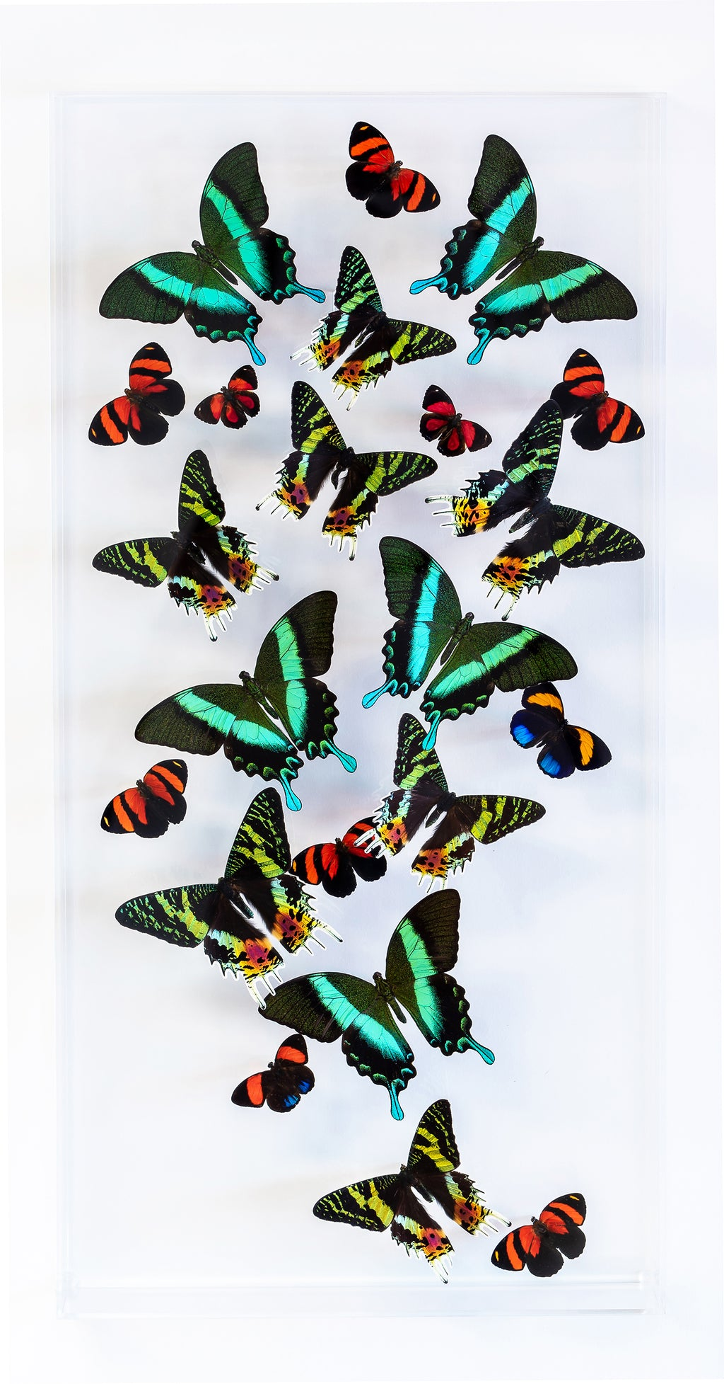"12"" x 24"" exotic butterfly display - 1224SBP - Vertical - Regular price $795.00"