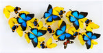 "12"" x 24"" exotic butterfly display - 1224upah - Horizontal - Regular price 795.00"