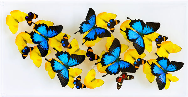 "12"" x 24"" exotic butterfly display"