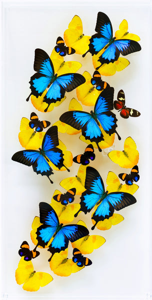 "12"" x 24"" exotic butterfly display - 1224UPAH - Vertical - Regular price 795.00"