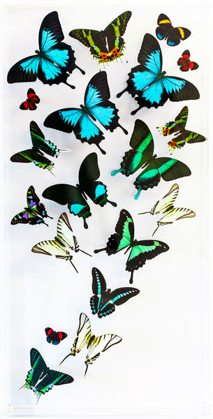 "12"" x 24"" exotic butterfly display - 1224uwbsl - Regular price $759.00"