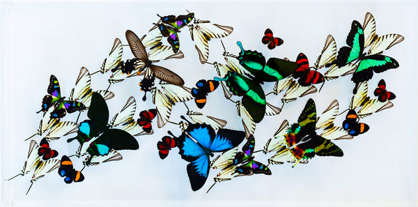 "12"" x 24"" exotic butterfly display - 1224zubk - Horizontal"