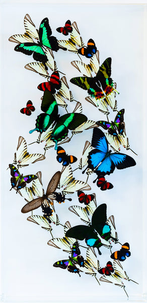 "12"" x 24"" exotic butterfly display - 1224zubk - Vertical"