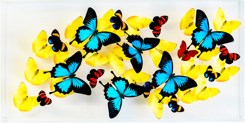 "12"" x 24"" exotic butterfly display - 1224upr - horizontal - Regular price $795.00"
