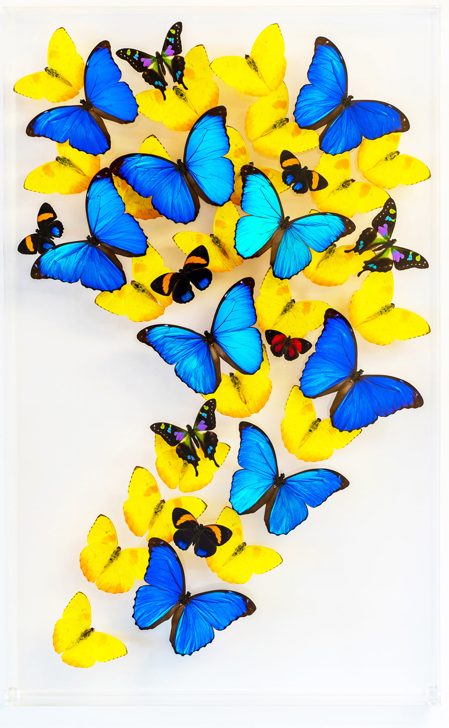 "15"" x 24"" exotic butterfly display - 1524gsl"