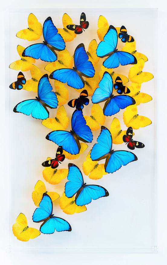 "15"" x 24"" exotic butterfly display"