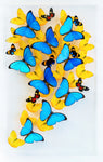 "15"" x 24"" exotic butterfly display - 1524gsl2"