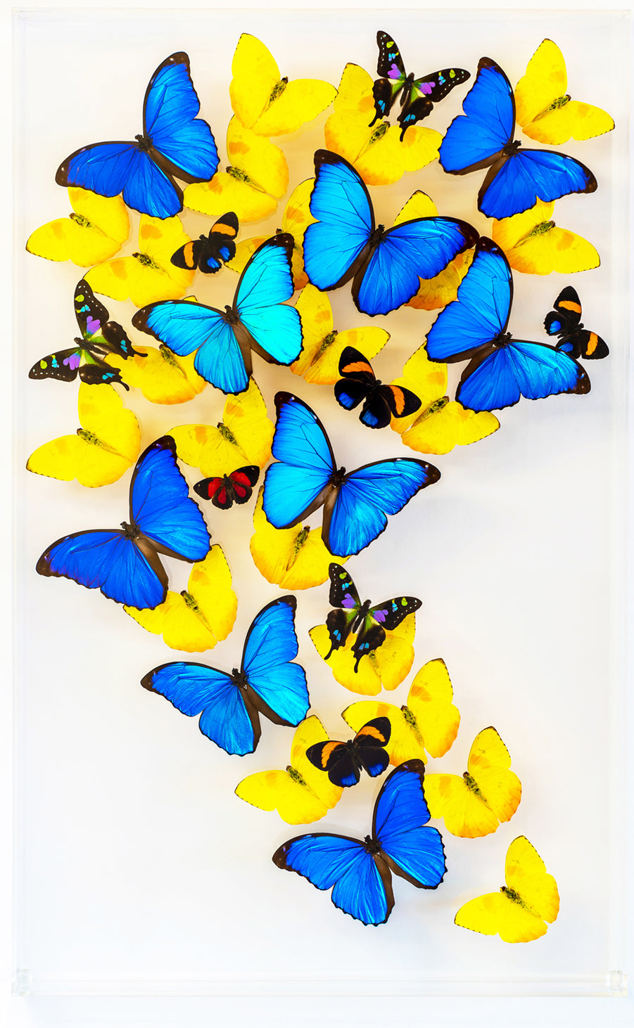 "15"" x 24"" exotic butterfly display - 1524gsr"