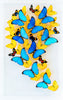 "15"" x 24"" exotic butterfly display - 1524gsr2"
