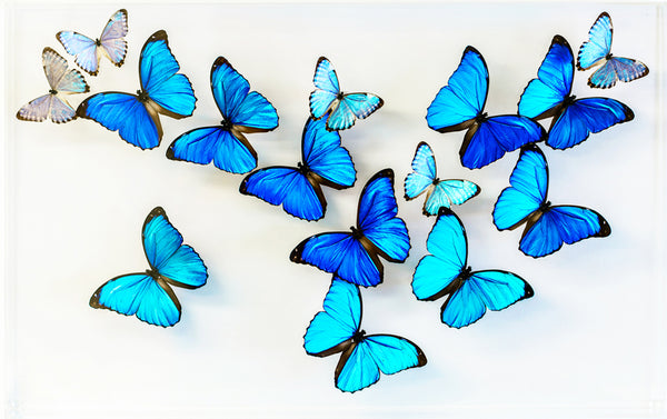 "15"" x 24"" exotic butterfly display - 1524Morphos"