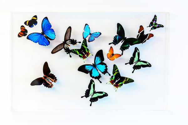 "15"" x 24"" exotic butterfly display - 1524 Rainbow Forest - Regular price $995.00"