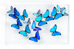 "15"" x 24"" exotic butterfly display - 1524Morphos - with Morpho Cypris - Regular price $1,300.00"