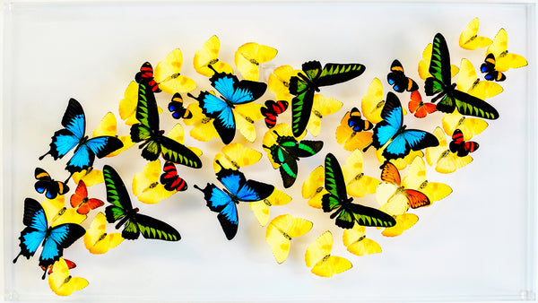 "18"" x 32"" exotic butterfly display - 1832bpru - Horizontal"