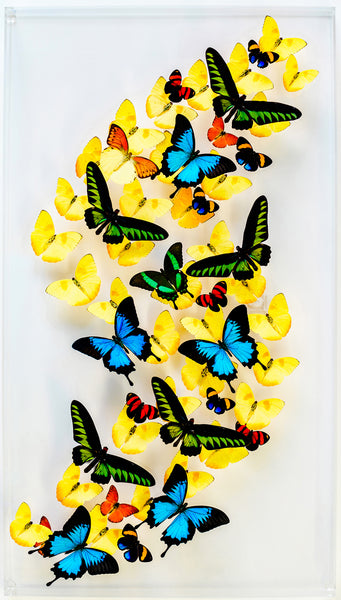 "18"" x 32"" exotic butterfly display - 1832bpru - Vertical Left"