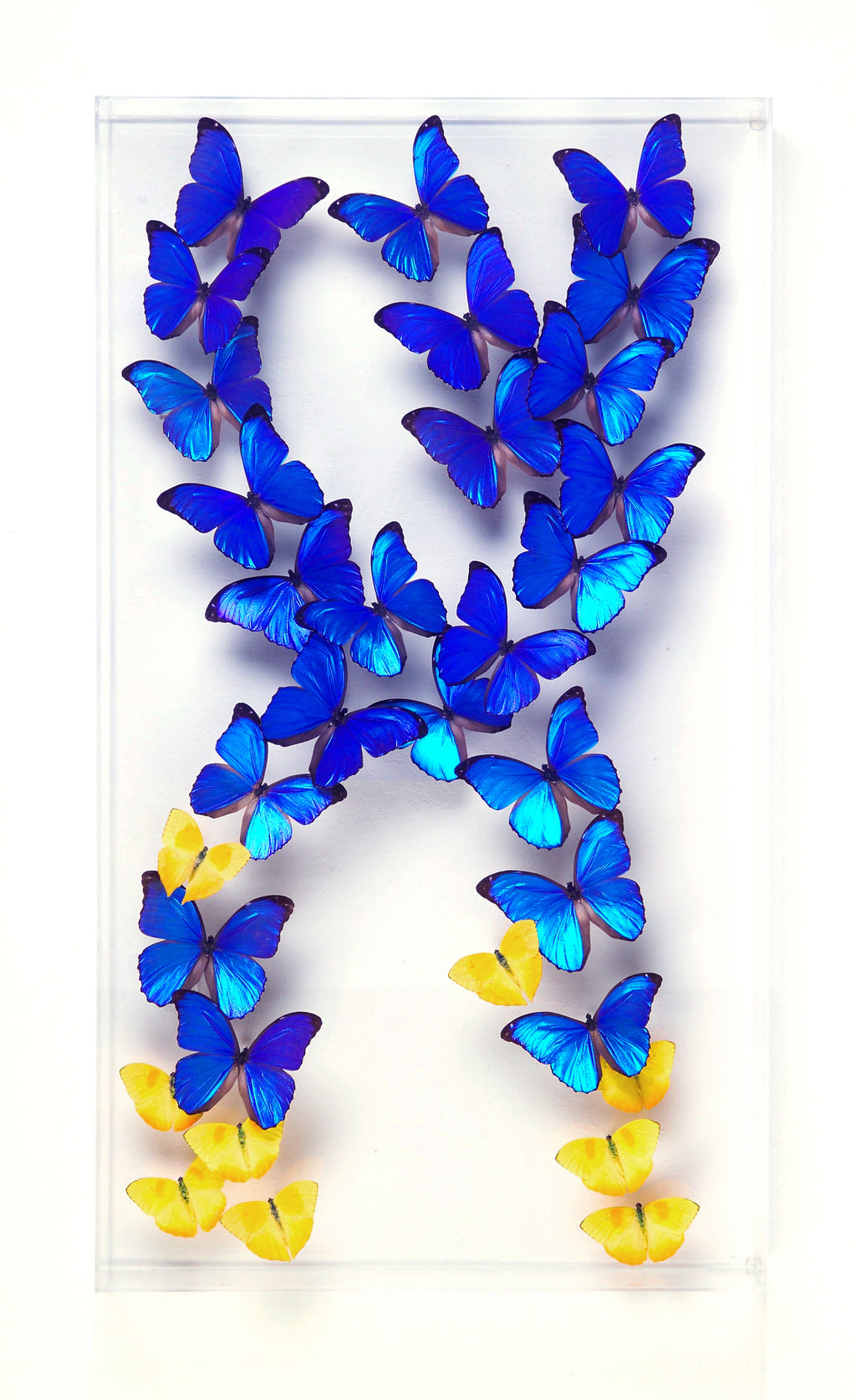 "18"" x 32"" exotic butterfly display - 1832MP - Regular price $2,400.00"