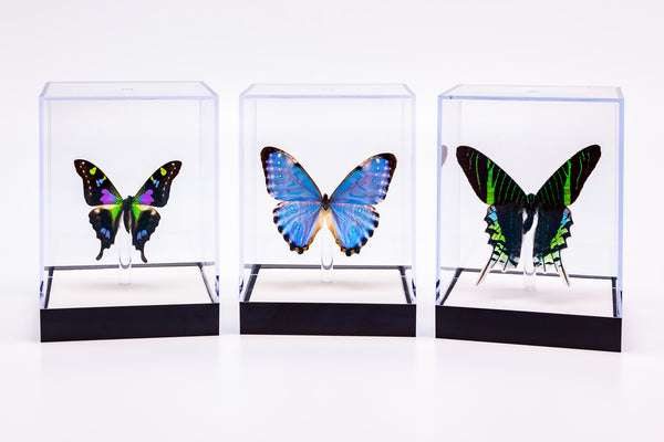 "5"" Tall Table Displays - Weiski, Morpho Portis and Leilus"