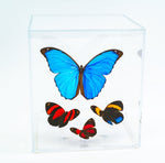 "6"" Tall Table Display - Morpho Menelaus - Regular price $199.00"