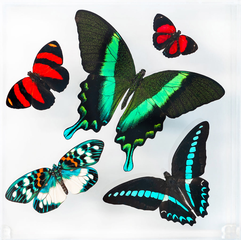 "7"" x 7"" exotic butterfly display - 77bmcpe"