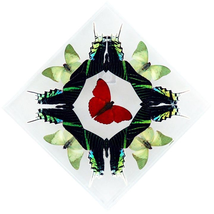 "7"" x 7"" exotic butterfly display - 77kdels"