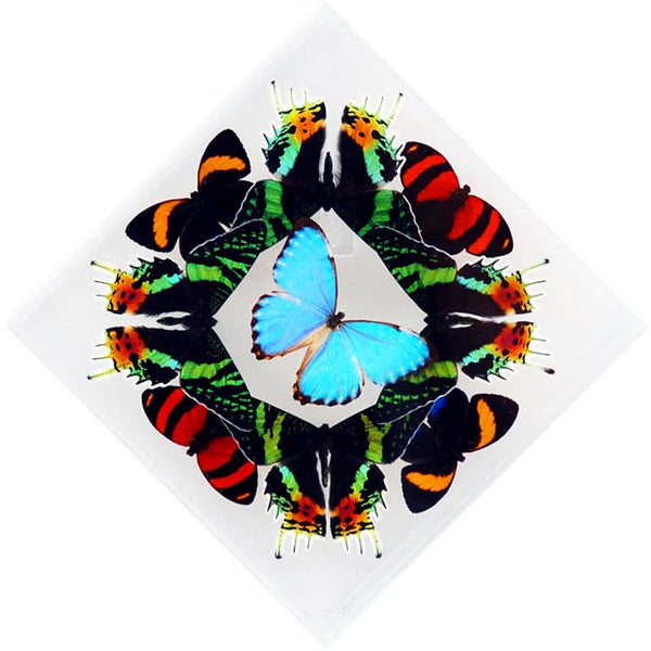 "7"" x 7"" exotic butterfly display - 77kdpscpp"