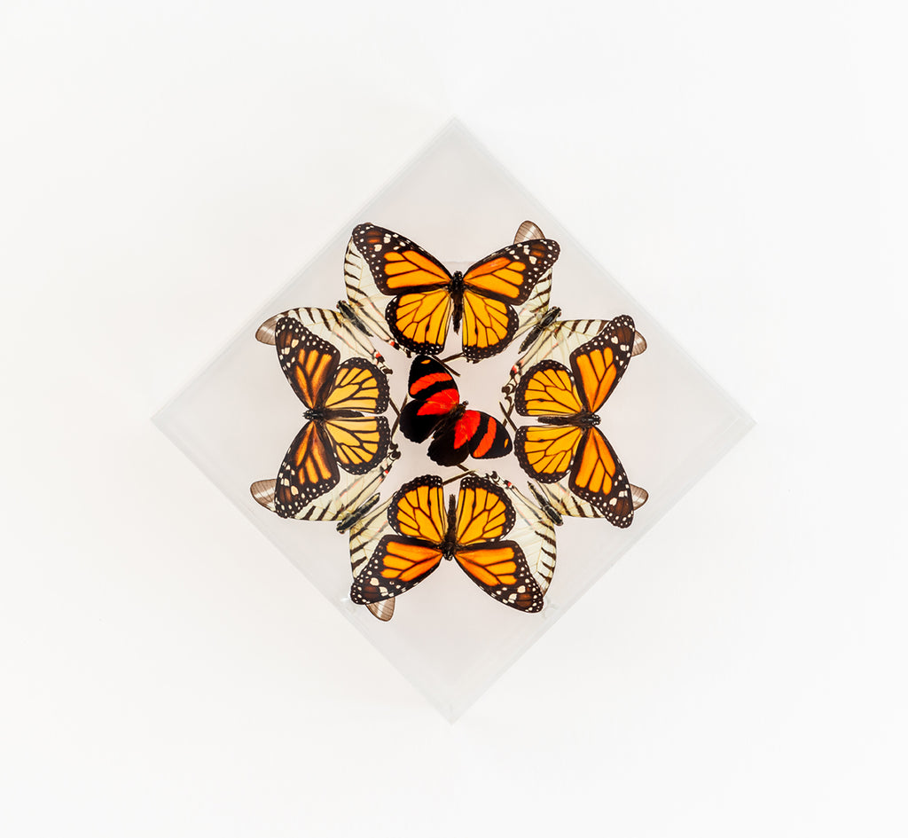 "7"" x 7"" exotic butterfly display - 77DMZC"