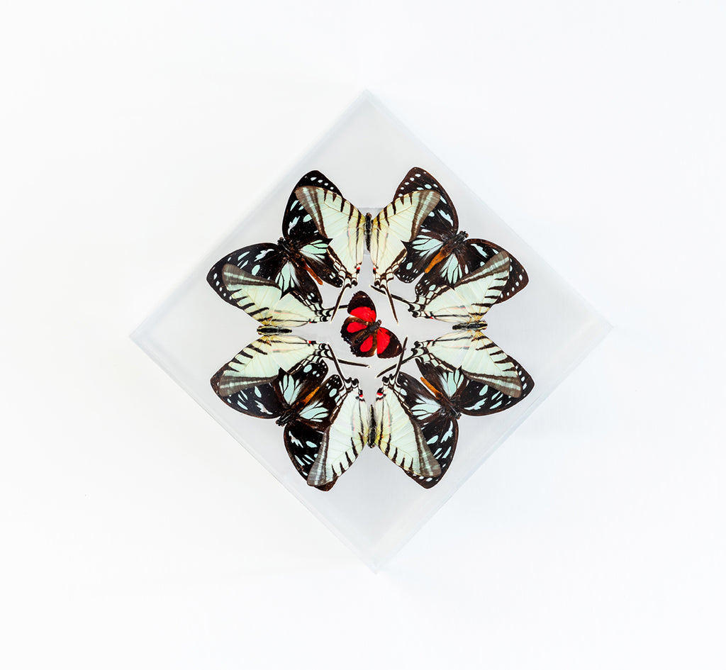 "7"" x 7"" exotic butterfly display - 77DPEZ"