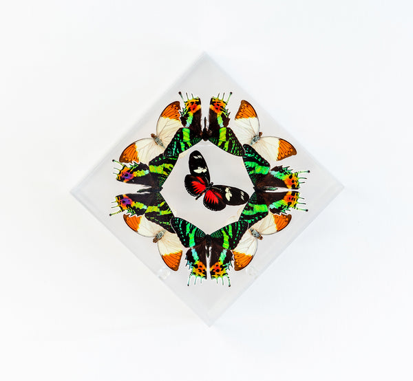 "7"" x 7"" exotic butterfly display - 77DSOTH"