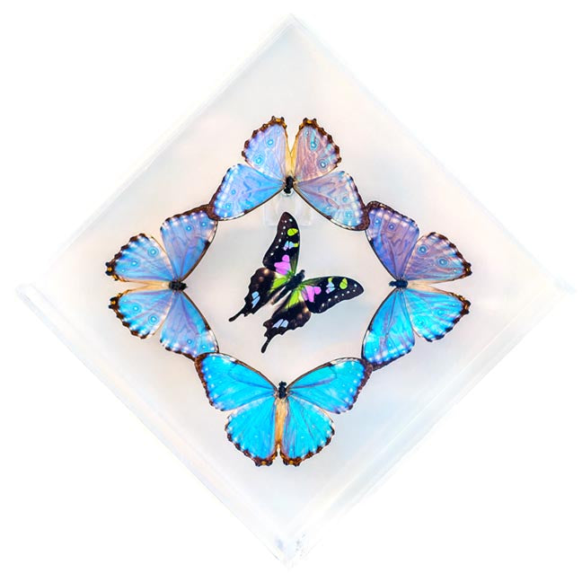 "7"" x 7"" exotic butterfly display - 77kdmpw"