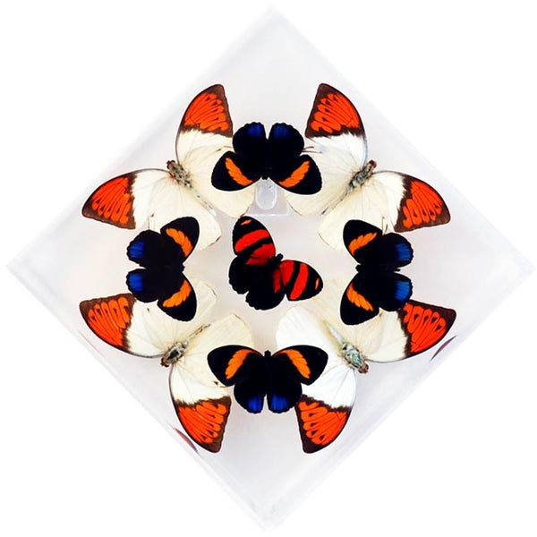 "7"" x 7"" exotic butterfly display - 77kdotpc"