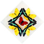 "7"" x 7"" exotic butterfly display - 77kdpsm"