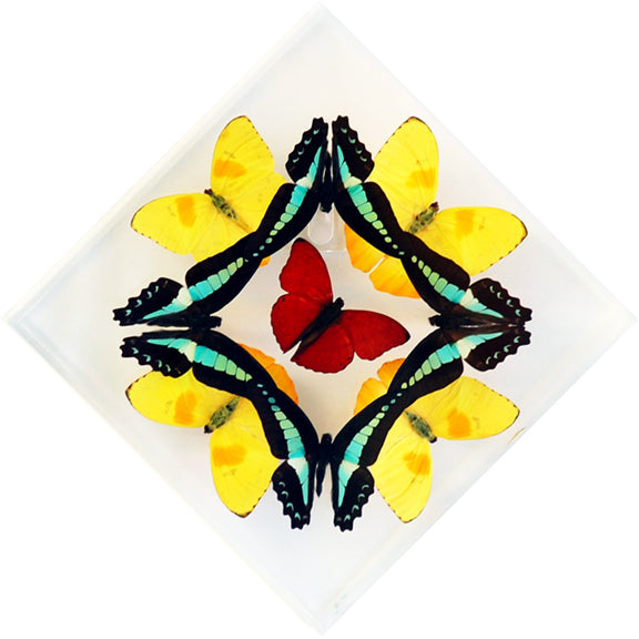 "7"" x 7"" exotic butterfly display - 77kdpsm - Regular price $169.00"