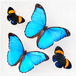 "7"" x 7"" exotic butterfly display"