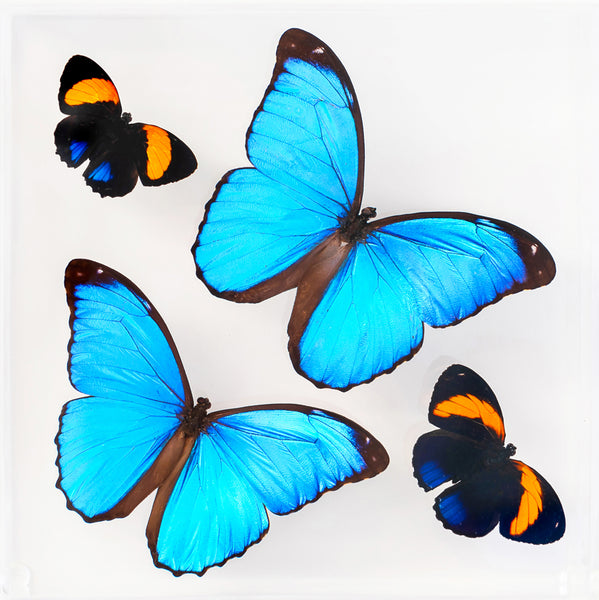 "7"" x 7"" exotic butterfly display - 77MMPA"