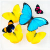 "7"" x 7"" exotic butterfly display - 77mpap"