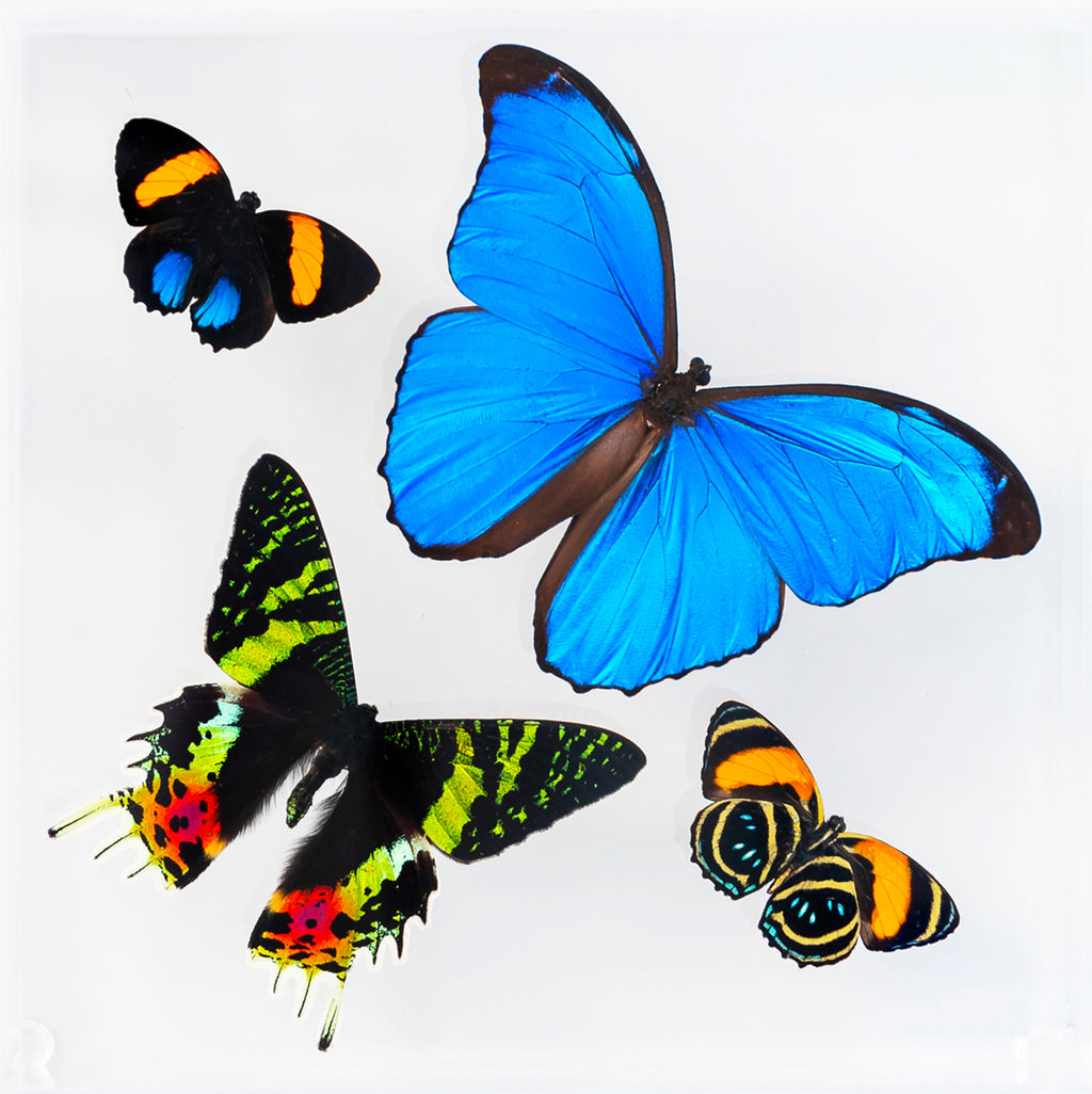 "7"" x 7"" exotic butterfly display - 77msa"