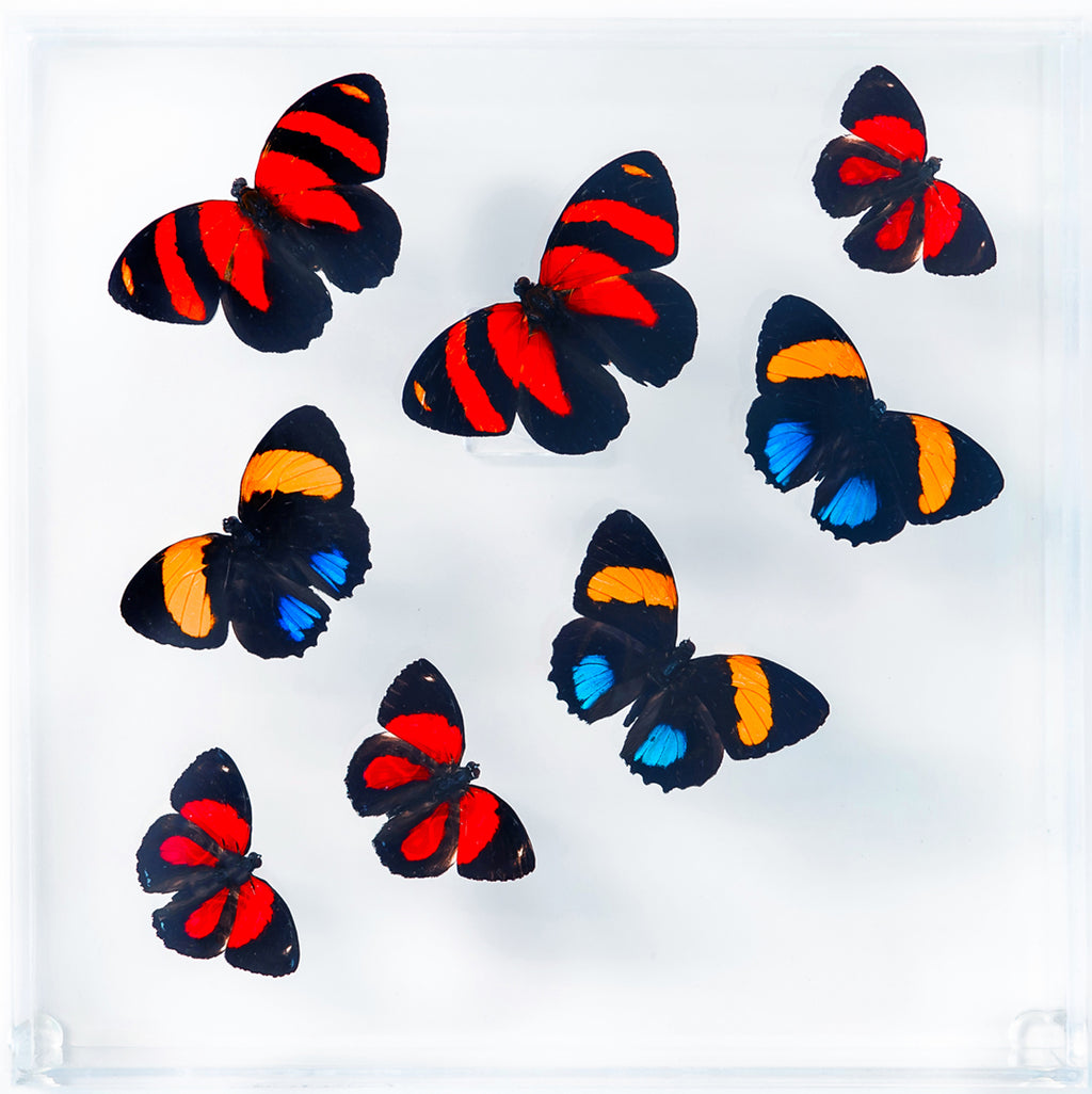 "7"" x 7"" exotic butterfly display - 77pac"