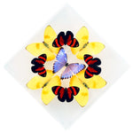 "7"" x 7"" exotic butterfly display - 77KDPCMP"