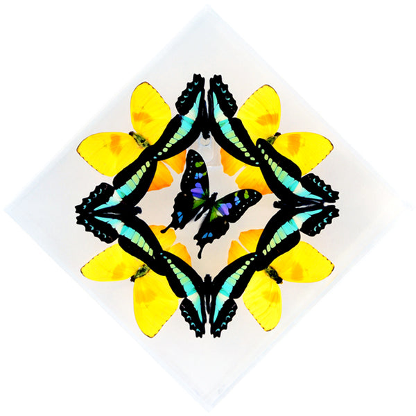 "7"" x 7"" exotic butterfly display - 77kdpmw"